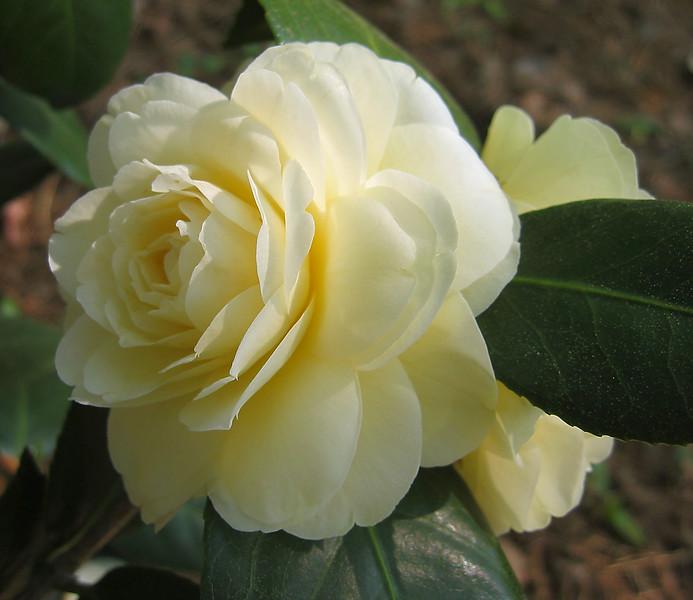 04182004 Camellia japonica 'Lemon Glow', teaceae Tea family, garden origin