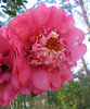 00aFavorite 03292006 Looking up at a camellia bloom