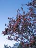 03042006 Saucer magnolia tree in bloom [fill flash]