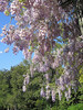 04132006 Hanging wisteria blooms