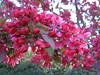 03292006 Deep pink crabapple blooms cl