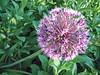 00aFavorite 04252009 Likely a garlic flower