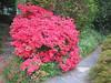 04212006 Deep pink azalea in rock garden by pond