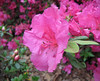 04212006 Vibrant azalea (Rhododendron 'vibrant')