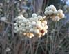 00aFavorite 12072006 White beautyberry (Callicarpa americana var lactea) cl