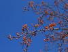 11032006 Indian Summer Crabapple (Malus 'Indian Summer')