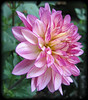 08022006 Pink and purple dahlia cl