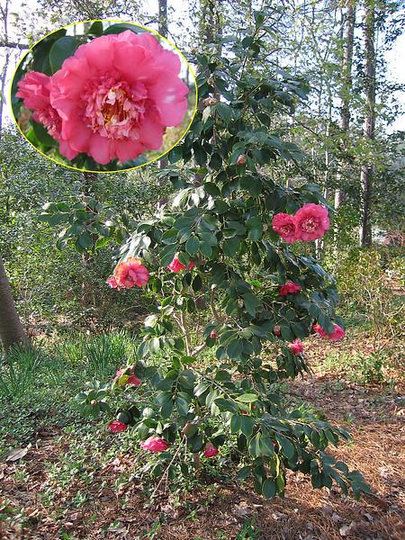 03292006 Camellia [inset image]