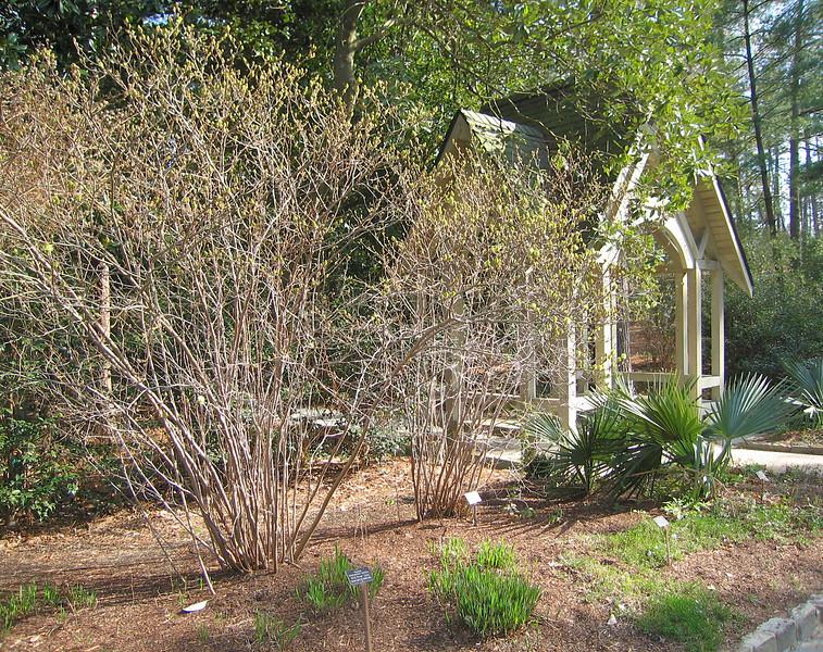 03292006 Spring coming to large shrubs near entrance to Native Garden