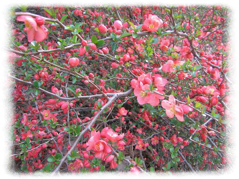 03222007 Texas Scarlet Flowering Quince (Chaenomeles speciosa 'Texas Scarlet') [edgefade10 frame]