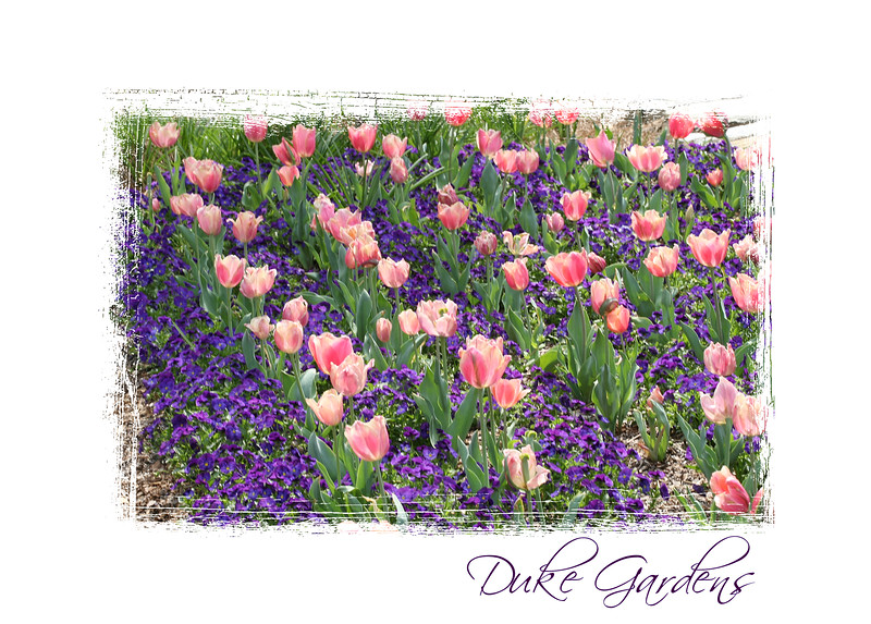 03312007 Pink tulips, blue flowers [edgepainted05 frame, text]