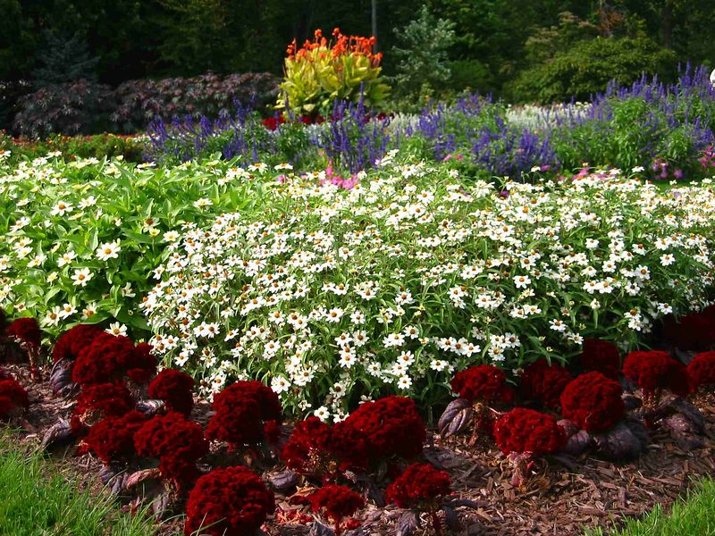 Daisies with red and blue flowers in annuals' border