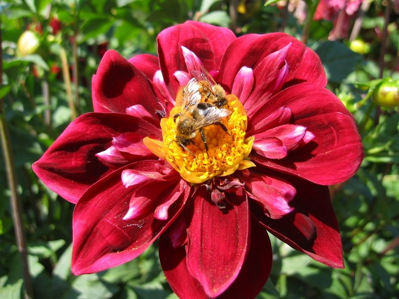 Dahlia cl - red with bee on yellow stamens