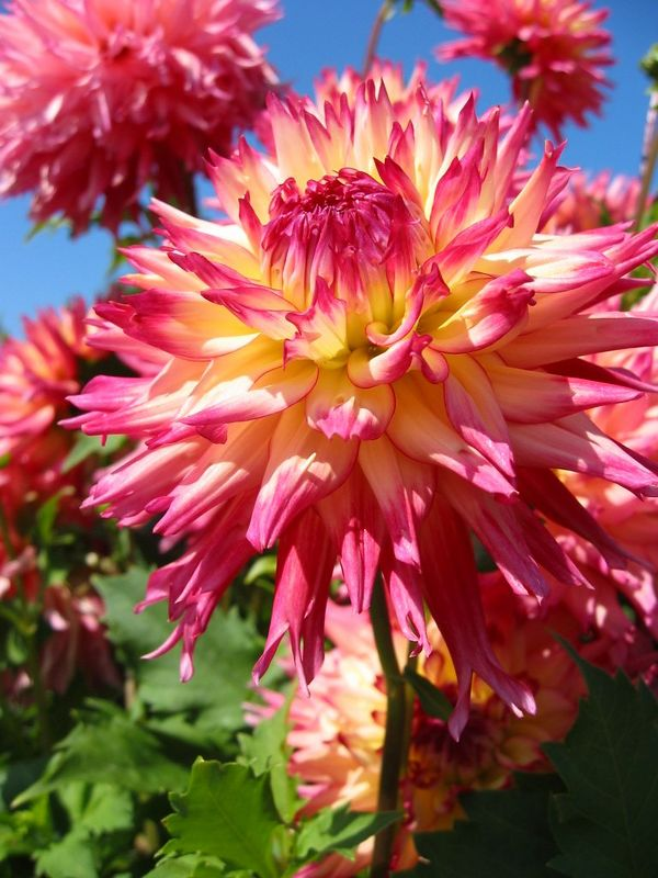 Dahlia cl - yellow and pink