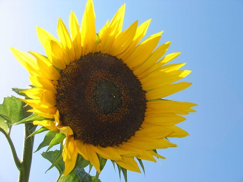 00aFavorite Sunflower