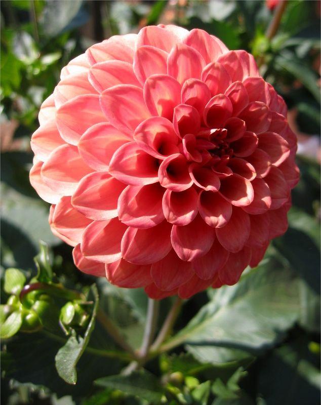 Flower (zinnia I think) cl