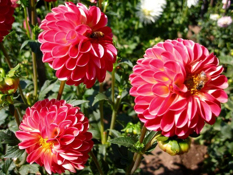 Red flower (zinnia I think)