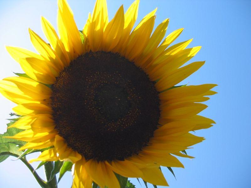 Sunflower cl
