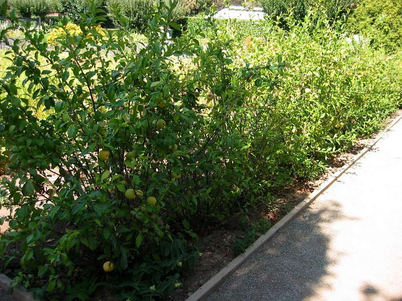 Escapalier trained dwarf fruit trees
