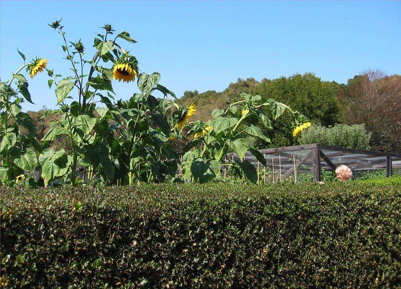 Sunflowers - peeking over hedge (see Becky too)