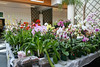 Franklin Park Conservatory (6 Grand Atrium [orchid show]) - 20080329 (1146a) 09767