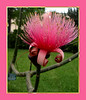 00aFavorite Shaving Brush Tree (Bombax ellipticum) flower cl [borders]