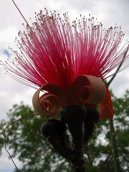 Shaving Brush Tree (Bombax ellipticum) flower cl 2