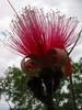 Shaving Brush Tree (Bombax ellipticum) flower cl 2