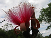 Shaving Brush Tree (Bombax ellipticum) flower cl