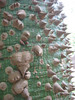 IMG_6468 Floss Silk Tree, Chorisia specisoa