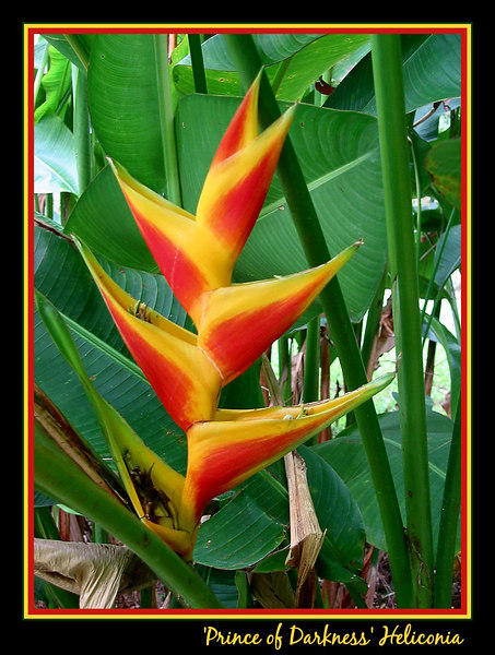 00aFavorite 'Prince of Darkness' heliconia from Grenada [borders, text]