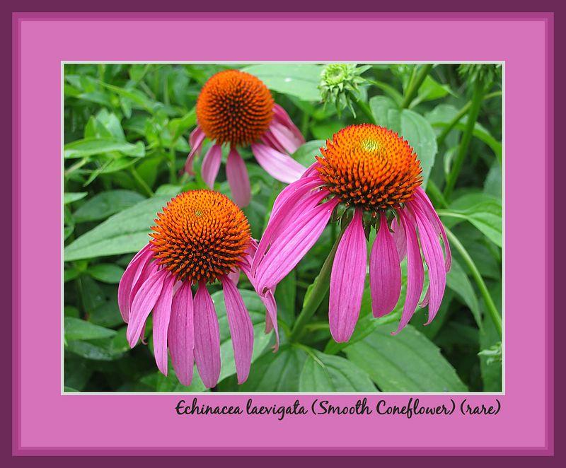 00aFavorite Smooth coneflower (Echinacea laevigata) - rare [borders, text]
