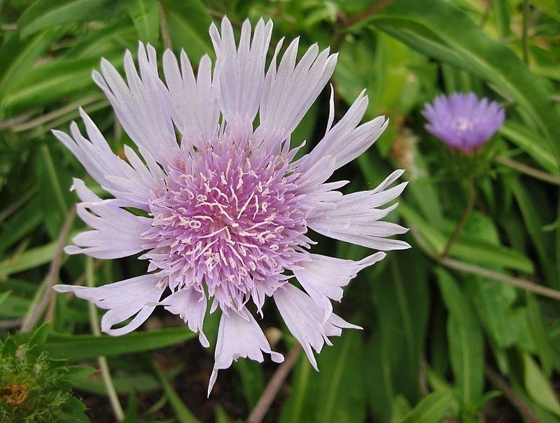 00aFavorite Stokes Aster (Stokesia laevis) - lovely lt lavender flower