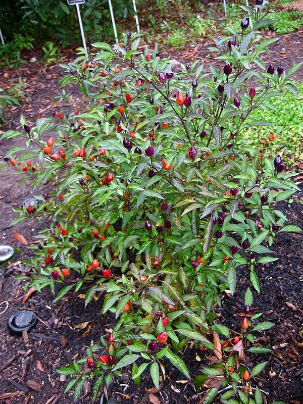 Bolivian Rainbow hot chile pepper (Capsicum frutescens 'Bolivian Rainbow')