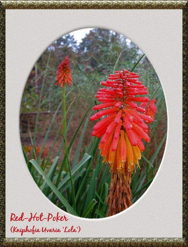 Red-Hot-Poker (Kniphofia Uvaria 'Lola') [antique gold oval frame, text]