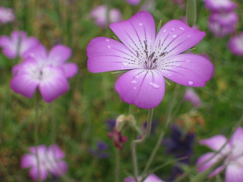 00aFavorite Lovely purple 6-petaled flower after rain