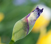 00aFavorite D 04172009 Sisters' Garden, Chapel Hill NC (02-4875, 1833p) (closeups)