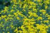 D 04172009 Sisters' Garden, Chapel Hill NC (08-4881, 1847p) (closeups)