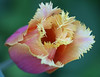 D 04082007 Sisters' Garden, Chapel Hill NC (01-3812, 548p) (closeups)