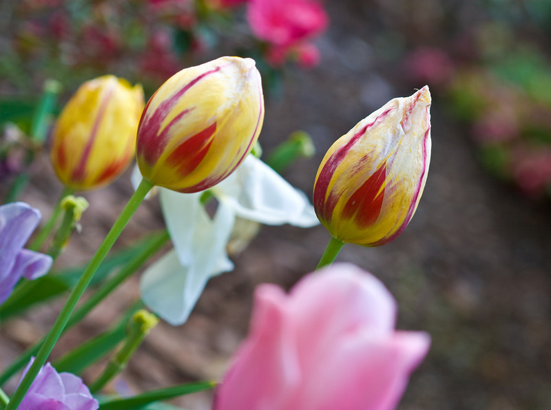 00aFavorite D 04232008 Sisters' Garden, Chapel Hill NC (01-0206, 625p) (closeups)