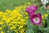 D 04072008 Sisters' Garden, Chapel Hill NC (03-0427, 153p) (closeups)