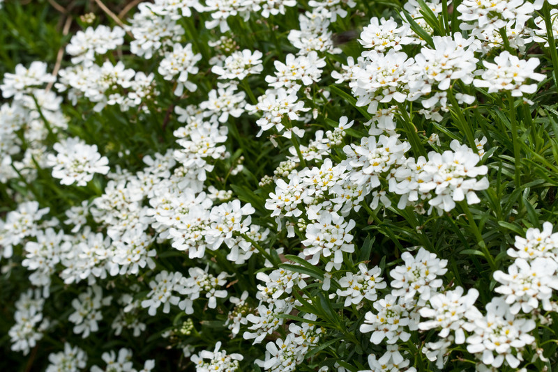 D 04082009 Sisters' Garden, Chapel Hill NC (08-4498, 1150p) (closeups)