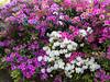 D 04052016 Sisters' Garden, Chapel Hill NC (1656p) (closeups)