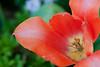 D 04172009 Sisters' Garden, Chapel Hill NC (04-4853, 1801p) (closeups)