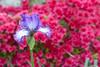 D 04172009 Sisters' Garden, Chapel Hill NC (07-4872, 1824p) (closeups)