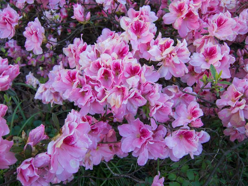 D 04052016 Sisters' Garden, Chapel Hill NC (1653p) (closeups)