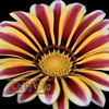 Gazania I - Version ONE