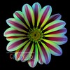 Gazania II - Version TWO