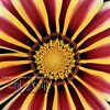 Gazania I - Version TWO