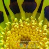 Gazania II - Version FOUR